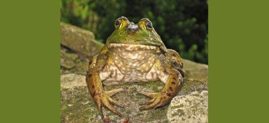 Kurbağalardan Beyin Tümörü İlacı 6632078352948179337